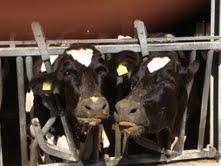 coppia di mucche
