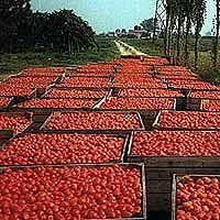 casalasco pomodoro  raccolta