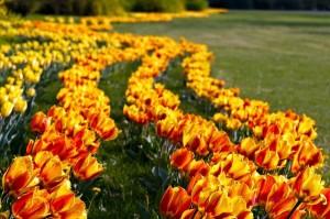 sigurtà tulipani 1