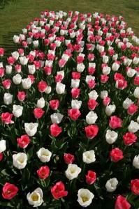 sigurtà tulipani 2