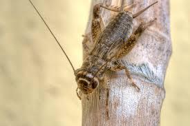 insetti da mangiare-grillo