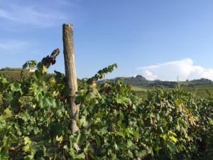 Oltrepò Pavese Codevilla Azienda Montelio vigne