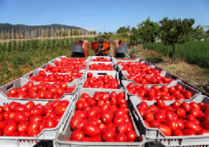 pomodoro-raccolta