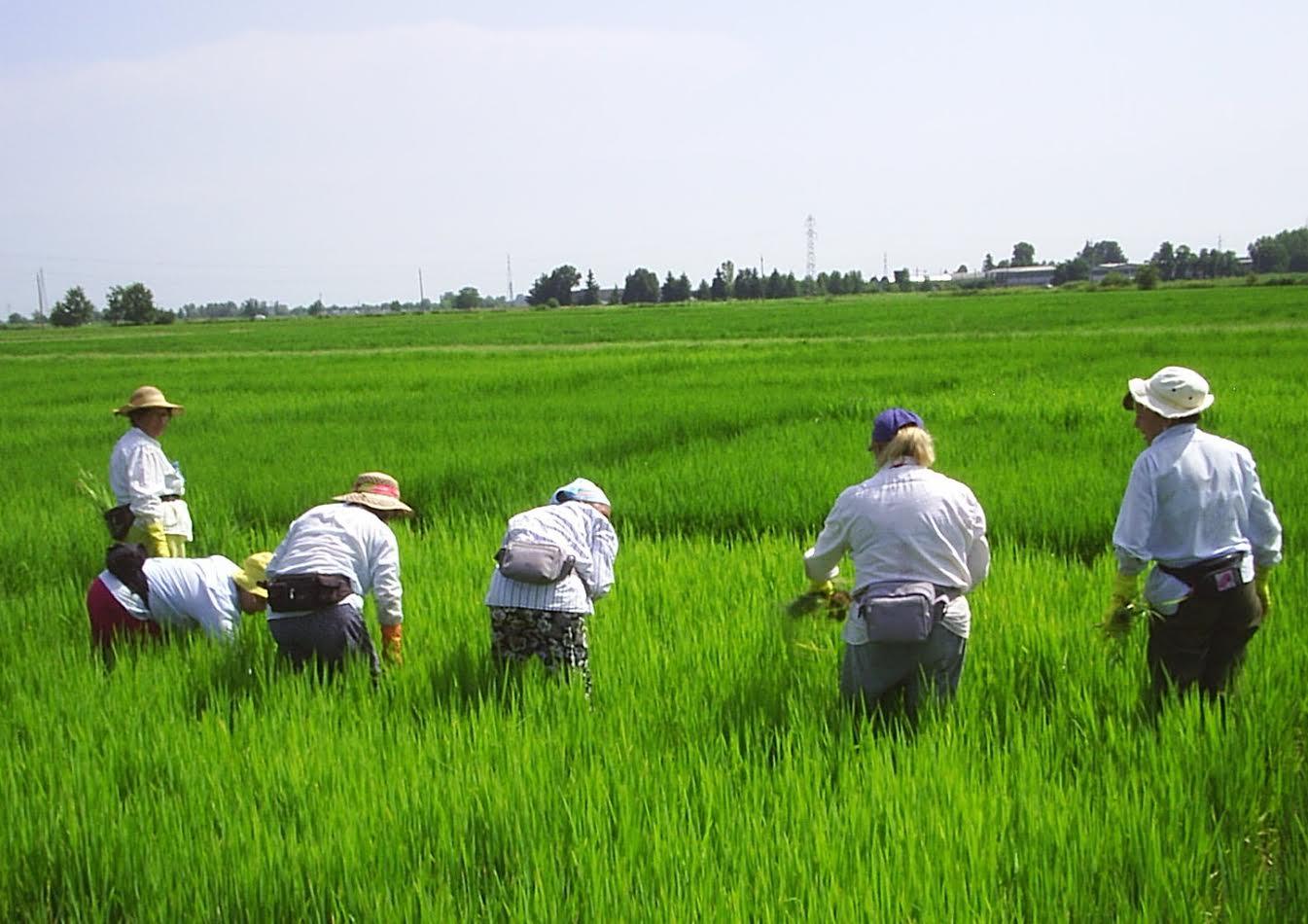 riso, la raccolta delle mondine