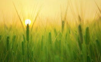 Pasqua festa agricola, campo di grano